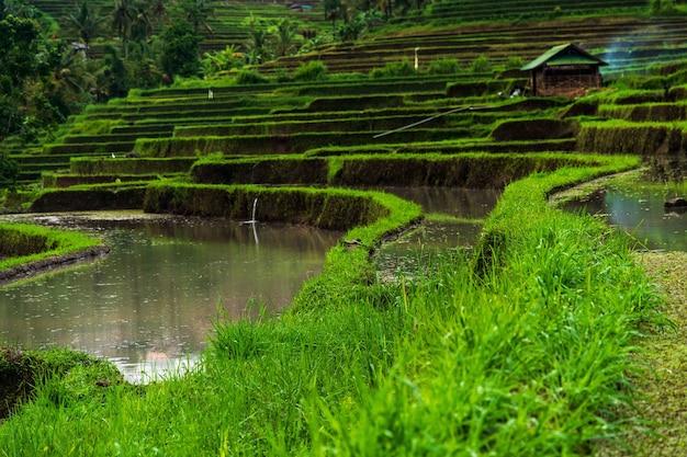 Inquadratura dal basso delle terrazze di riso jatiluwih sotto la luce del sole a bali in indonesia Foto Gratuite