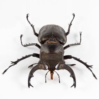 Lucanus formosanus scarabeo scarabeo Foto Gratuite