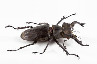 Lucanus formosanus scarabeo vicino Foto Gratuite