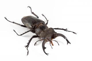 Lucanus formosanus жука ног Бесплатные Фотографии