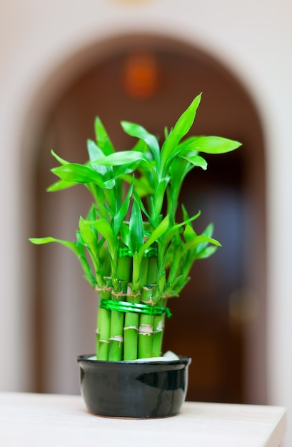 Lucky bamboo plant indoor plant