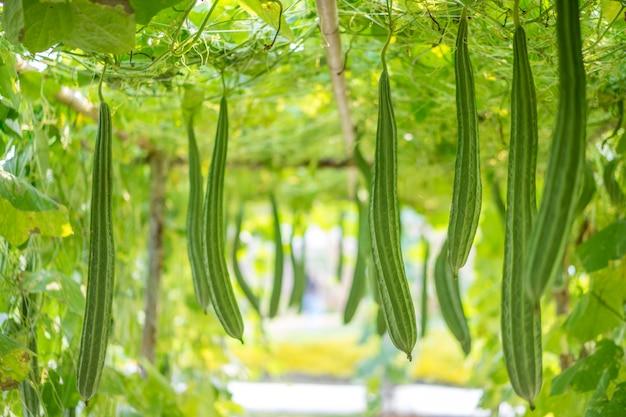 新鮮なluffa acutangulaまたは菜の花畑 Premium写真