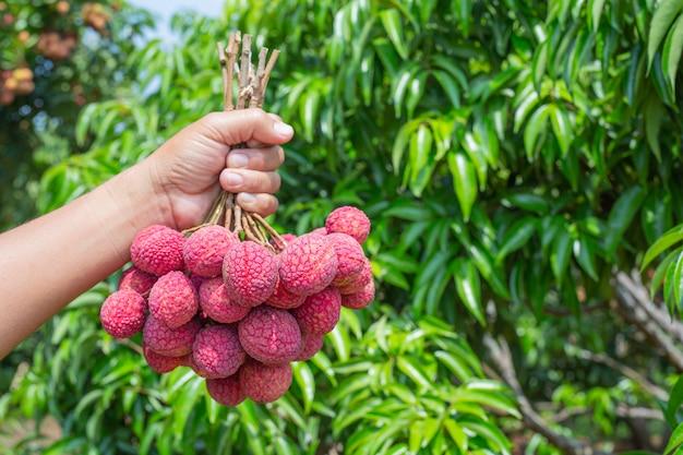 Lychee fruit Free Photo