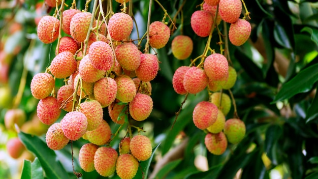 Lychee tree in an orchard. Premium Photo