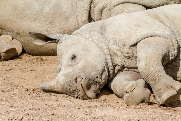 An lying young rhino Premium Photo