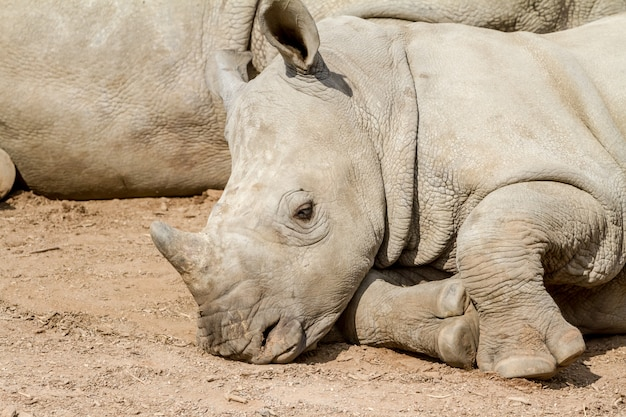 A lying young rhino Premium Photo