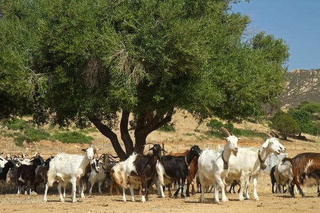 山mのヤギ Premium写真