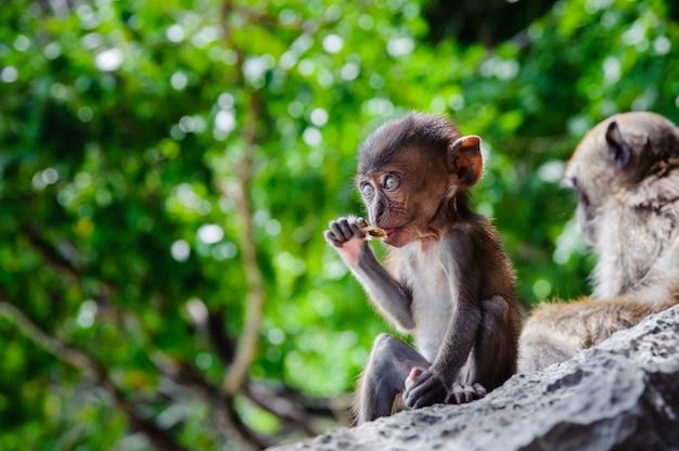 カブmacaca fascicularis岩の上に座って食べる。タイのピピ島の赤ちゃん猿 Premium写真