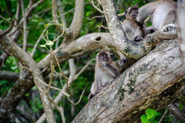 Macaque sitting on a mangrove tree. macaca fascicularis Premium Photo