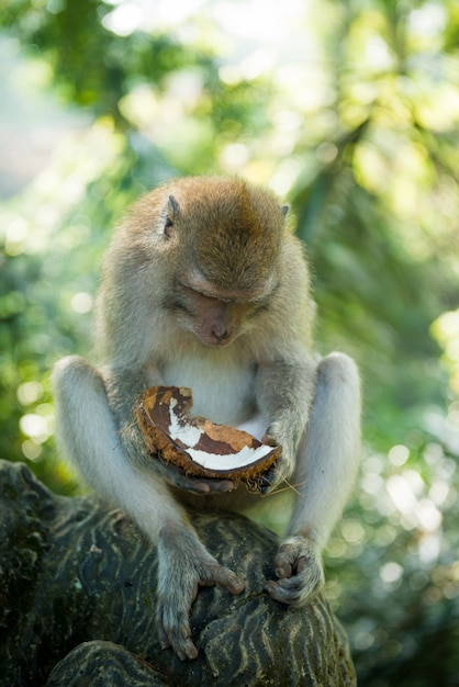 Macaque with coconut Free Photo