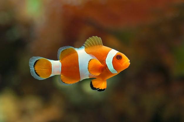 Macro close up of clownfish. marine fish Premium Photo
