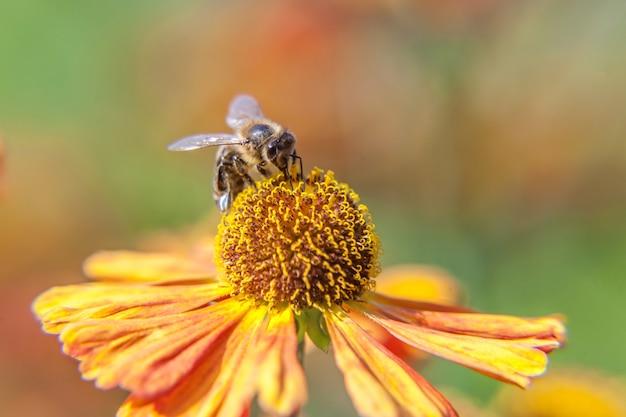 Macro close up honey bee covered with yellow pollen drink nectar, pollinating orange flower Premium Photo
