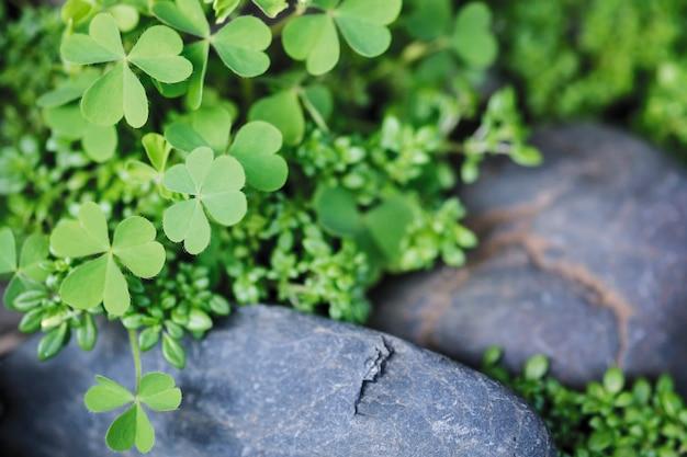 Macro leaf clover in the garden Premium Photo