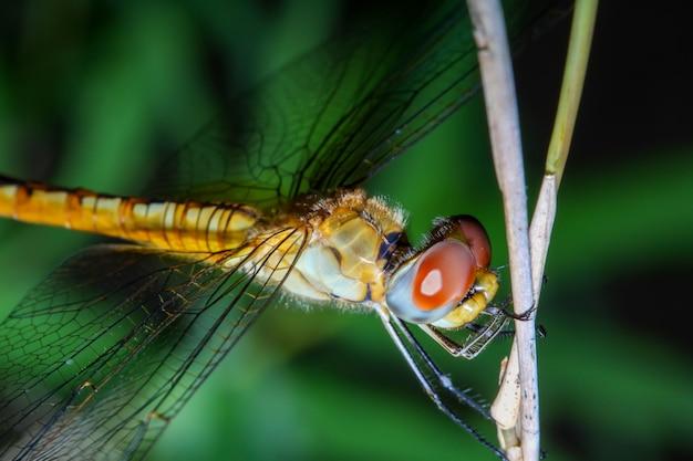 Макрос стрекозы на бамбуковой палочке в лесу Premium Фотографии