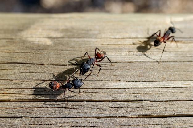 Макрос нескольких муравьев-королев, ищущих себе пару, чтобы свить гнездо. Premium Фотографии