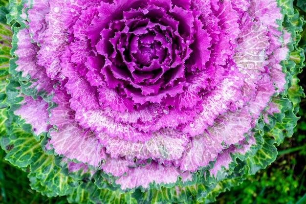 Фото макроса зацветая фиолетовой декоративной капусты. acephala или brassica oleracea декоративные. крупный план, вид сверху. Premium Фотографии