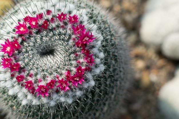 先端のとがったふわふわのサボテン、サボテン科または自然な背景をぼかした写真の花が咲くサボテンのマクロ写真。 Premium写真