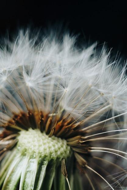 白いタンポポの綿毛のマクロ写真 Premium写真