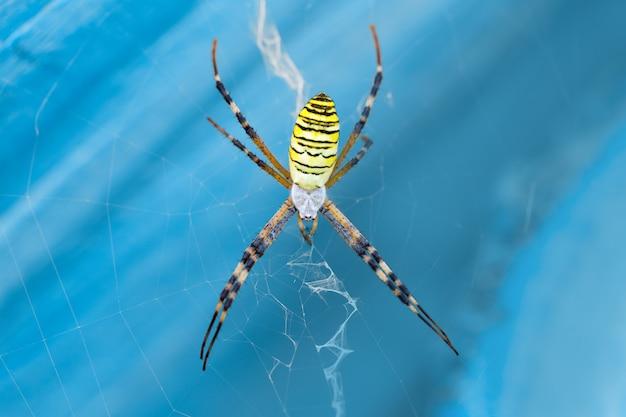 Macro photo spider argiope bruennichi on the web on a blue background closeup Premium Photo