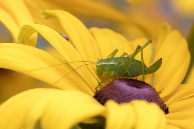Macro photography of a green grasshopper sitting on a yellow flower Free Photo