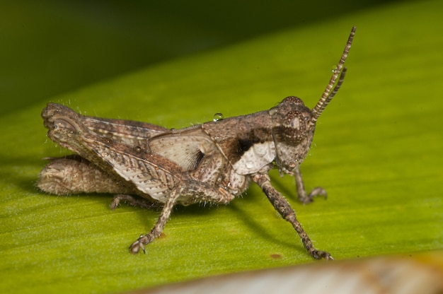 Macro photography shot of a band-winged grasshopper sitting on a fresh green leaf Free Photo