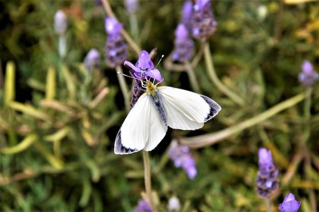 Макросъемка выстрел из белой бабочки на английских цветах лаванды Бесплатные Фотографии
