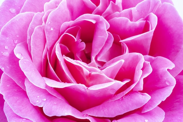 Macro shot of a beautiful pink rose with water drops - perfect for wallpaper Free Photo