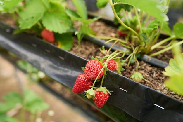 Macro shot of ripe strawberry cluster growing in a garden bed Free Photo
