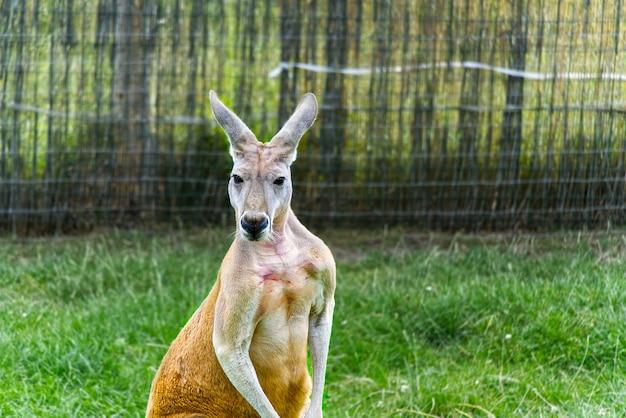Макропус руфус или портрет красного кенгуру Premium Фотографии