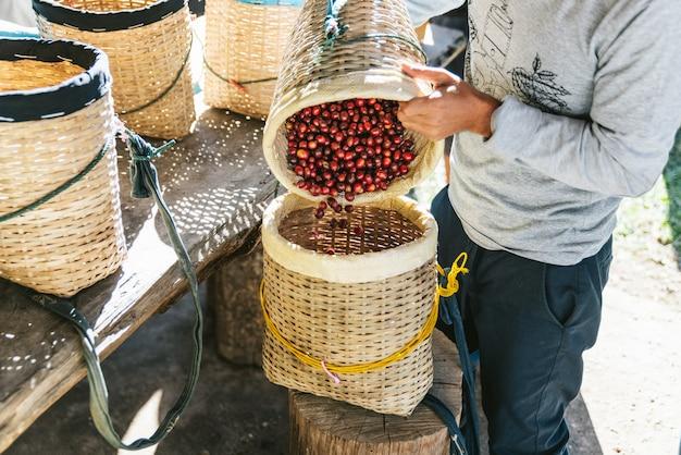 農民注ぐ手はタイのチェンマイの丘の上のmaejantaiのakha村の別のかごに熟した赤いアラビカコーヒー果実を選んだ。 Premium写真