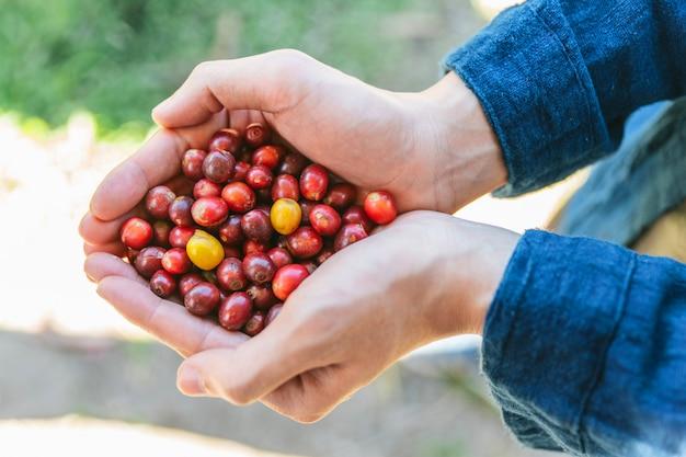 手の上から見るタイ、チェンマイの丘の上のmaejantaiのakha村で熟した赤いアラビカコーヒー果実を選んだ。 Premium写真