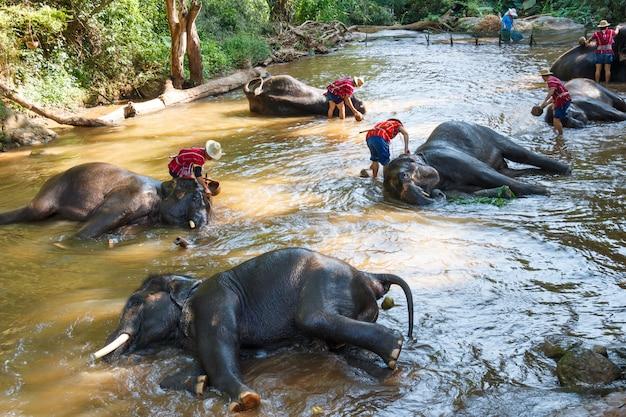 Maesa elephant camp、タイ、チェンマイのマホウータと風呂に入ったタイのゾウ Premium写真