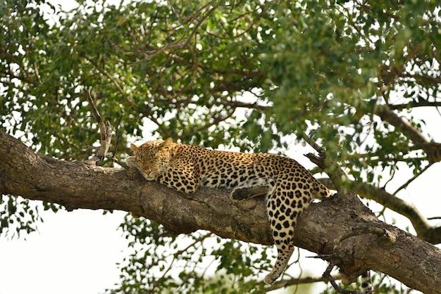Великолепный африканский леопард на ветке дерева, запечатленный в африканских джунглях Бесплатные Фотографии