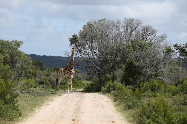 Magnificent giraffe grazing on a big tree on a gravel pathway Free Photo