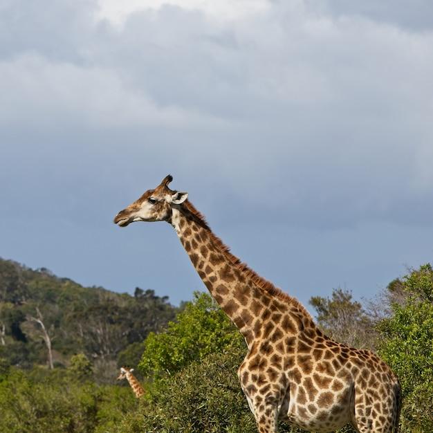 Magnifica giraffa in piedi tra gli alberi con una bellissima collina sullo sfondo Foto Gratuite