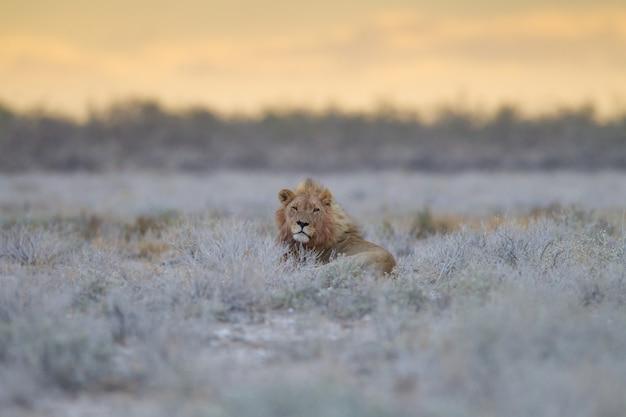 Великолепный лев гордо отдыхает среди травы посреди поля Бесплатные Фотографии