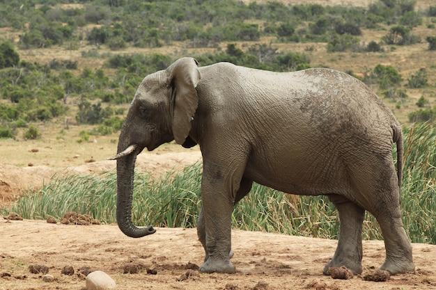 Magnifico elefante fangoso che cammina vicino ai cespugli e alle piante della giungla Foto Gratuite