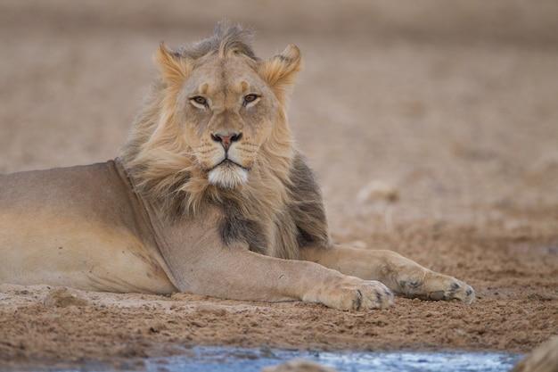 Великолепный могучий лев посреди пустыни Бесплатные Фотографии