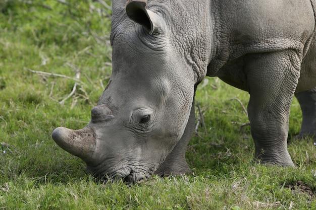 Magnifico rinoceronte al pascolo sui campi ricoperti di erba nella foresta Foto Gratuite