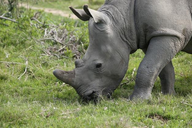 Великолепный носорог, пасущийся на покрытых травой полях в лесу Бесплатные Фотографии
