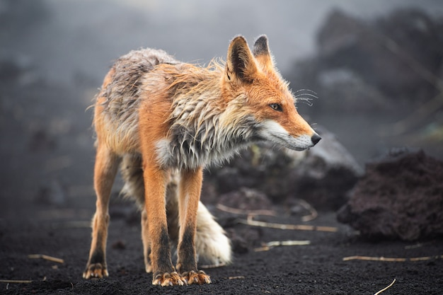 A magnificent wild red fox (vulpes vulpes) hunting for food to eat Premium Photo