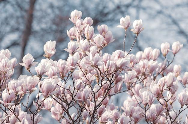 Magnolia flowers in spring time Premium Photo