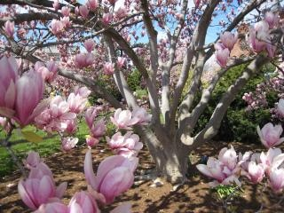 Magnolia Tree, Magnolia Free Photo