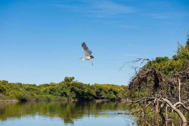 マガリコウノトリ(c. maguari)、パンタナール(ブラジルの湿地)で離陸、ブラジル、マトグロッソドスルのアキダウアナで Premium写真