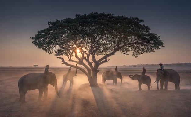 Закат mahout со слонами в таиланде Premium Фотографии