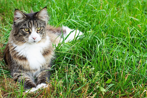 Maine coon cat lies on a green lawns Premium Photo
