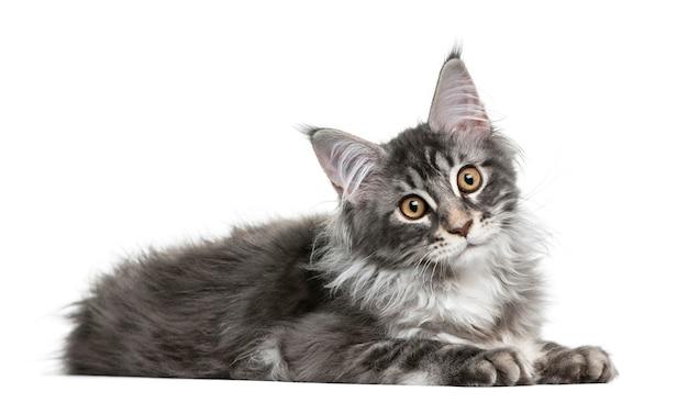 白い壁の前で子猫のメインクーン Premium写真