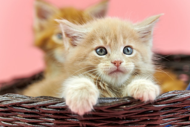Maine coon kittens in basket, red and cream | Premium Photo