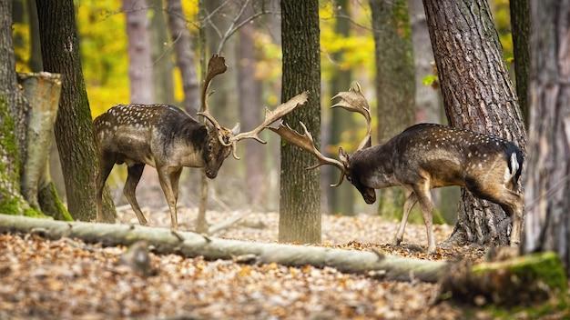 Величественные лани сражаются в осеннем лесу Premium Фотографии
