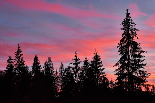 Majestic sky, pink cloud against the silhouettes of pine trees in the twilight time. Free Photo
